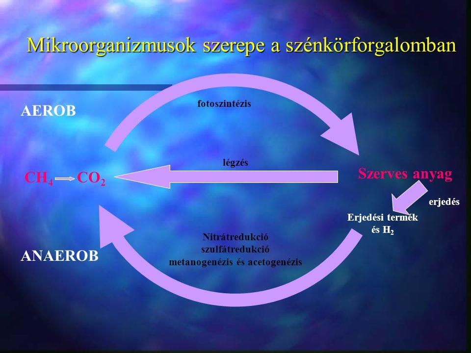 Mikroorganizmusok szerepe a szénkörforgalomban légzés Szerves anyag erjedés CH 4 CO 2 AEROB ANAEROB fotoszintézis Erjedési termék és H 2 Nitrátredukci