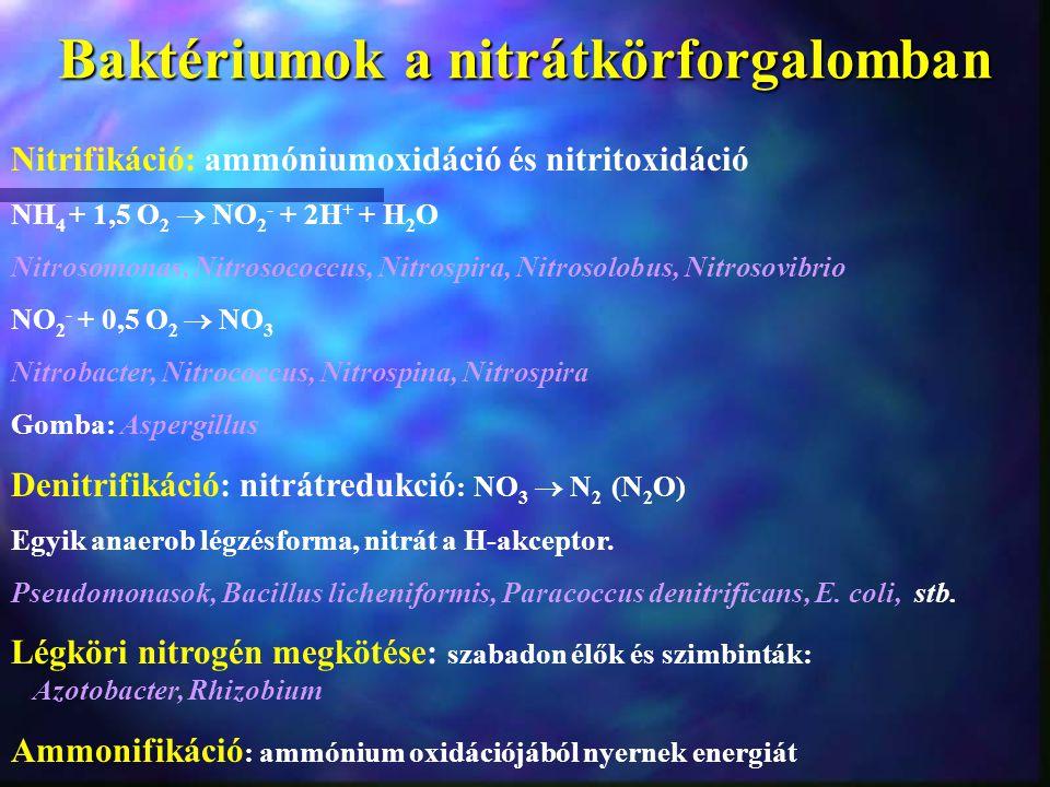 Baktériumok a nitrátkörforgalomban Nitrifikáció: ammóniumoxidáció és nitritoxidáció NH 4 + 1,5 O 2  NO 2 - + 2H + + H 2 O Nitrosomonas, Nitrosococcus