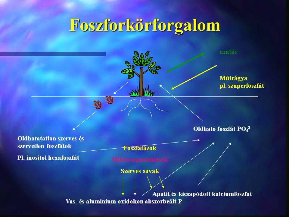 Foszforkörforgalom aratás Műtrágya pl. szuperfoszfát Oldható foszfát PO 4 3- Foszfatázok Mikroorganizmusok Szerves savak Oldhatatatlan szerves és szer