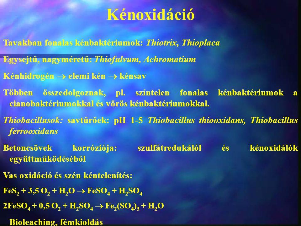 Kénoxidáció Tavakban fonalas kénbaktériumok: Thiotrix, Thioplaca Egysejtű, nagyméretű: Thiofulvum, Achromatium Kénhidrogén  elemi kén  kénsav Többen