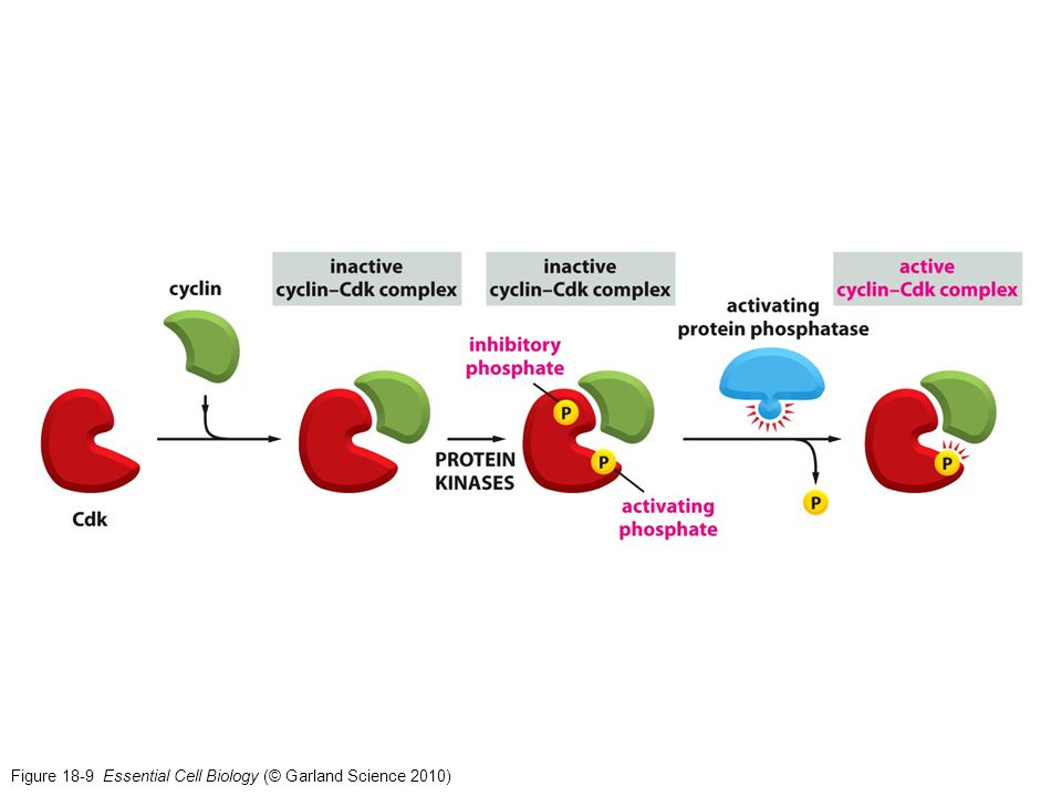 Figure 18-9 Essential Cell Biology (© Garland Science 2010)
