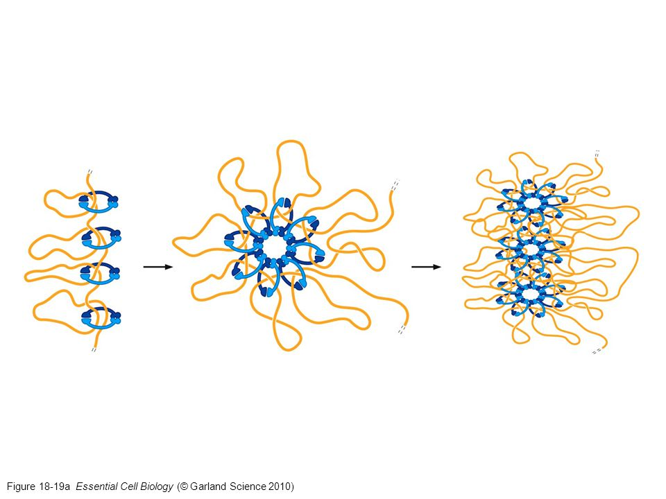 Figure 18-19a Essential Cell Biology (© Garland Science 2010)