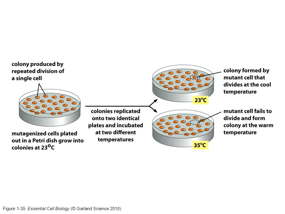 Figure 1-35 Essential Cell Biology (© Garland Science 2010)