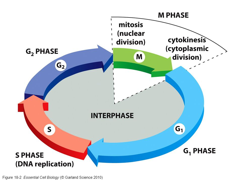 Figure 18-25a Essential Cell Biology (© Garland Science 2010)