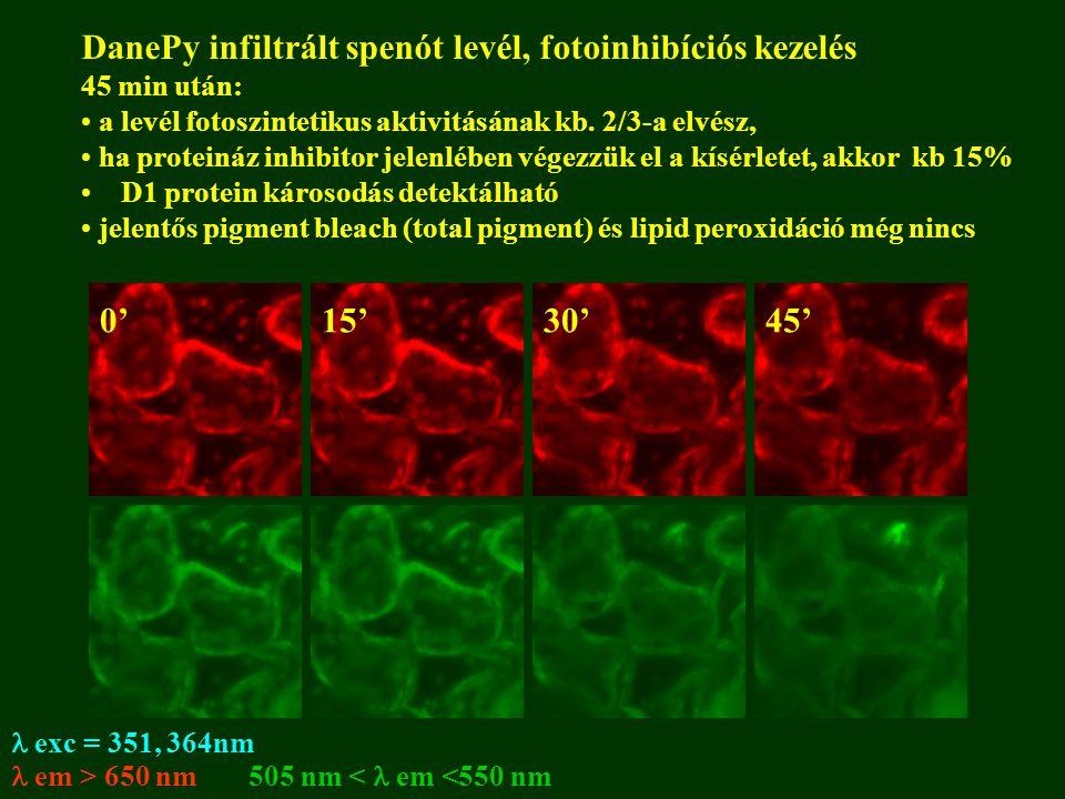  exc = 351, 364nm 505 nm <  em <550 nm  em > 650 nm DanePy infiltrált spenót levél, fotoinhibíciós kezelés 45 min után: a levél fotoszintetikus aktivitásának kb.