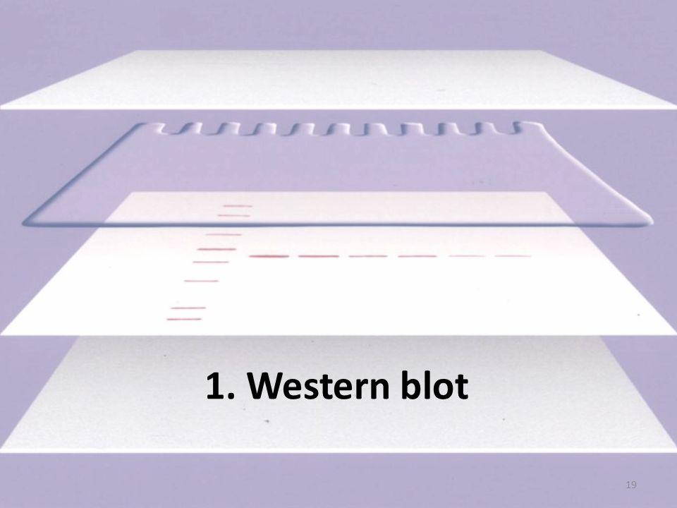 1. Western blot 19