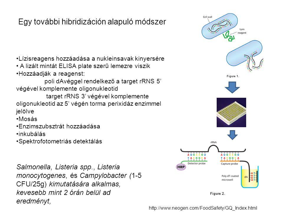 Lízisreagens hozzáadása a nukleinsavak kinyersére A lizált mintát ELISA plate szerű lemezre viszik Hozzáadják a reagenst: poli dAvéggel rendelkező a t