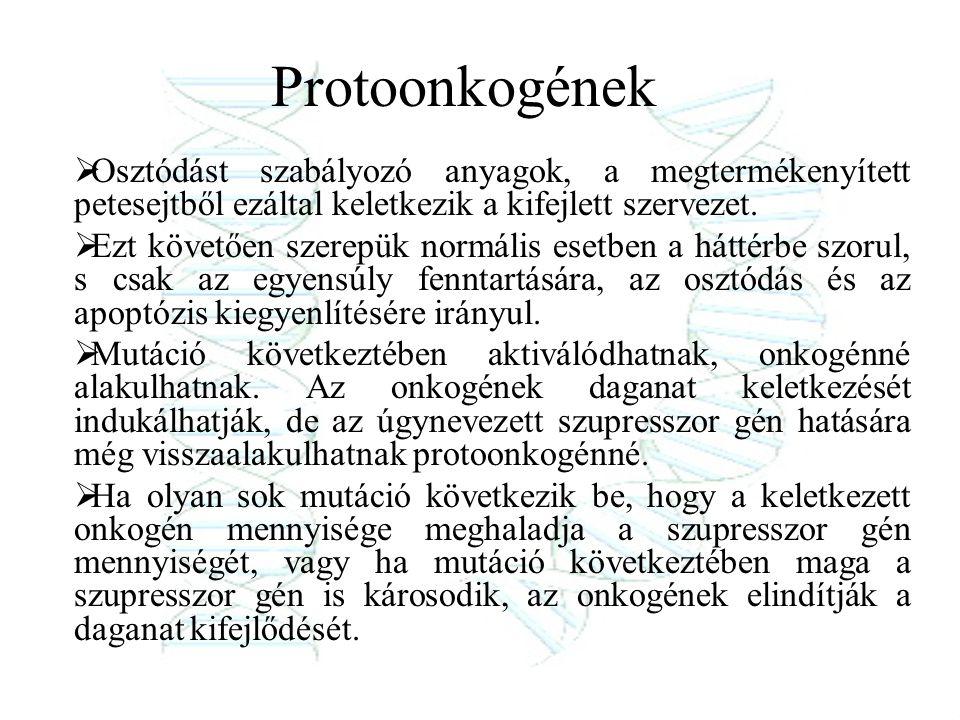 Protoonkogének  Osztódást szabályozó anyagok, a megtermékenyített petesejtből ezáltal keletkezik a kifejlett szervezet.  Ezt követően szerepük normá