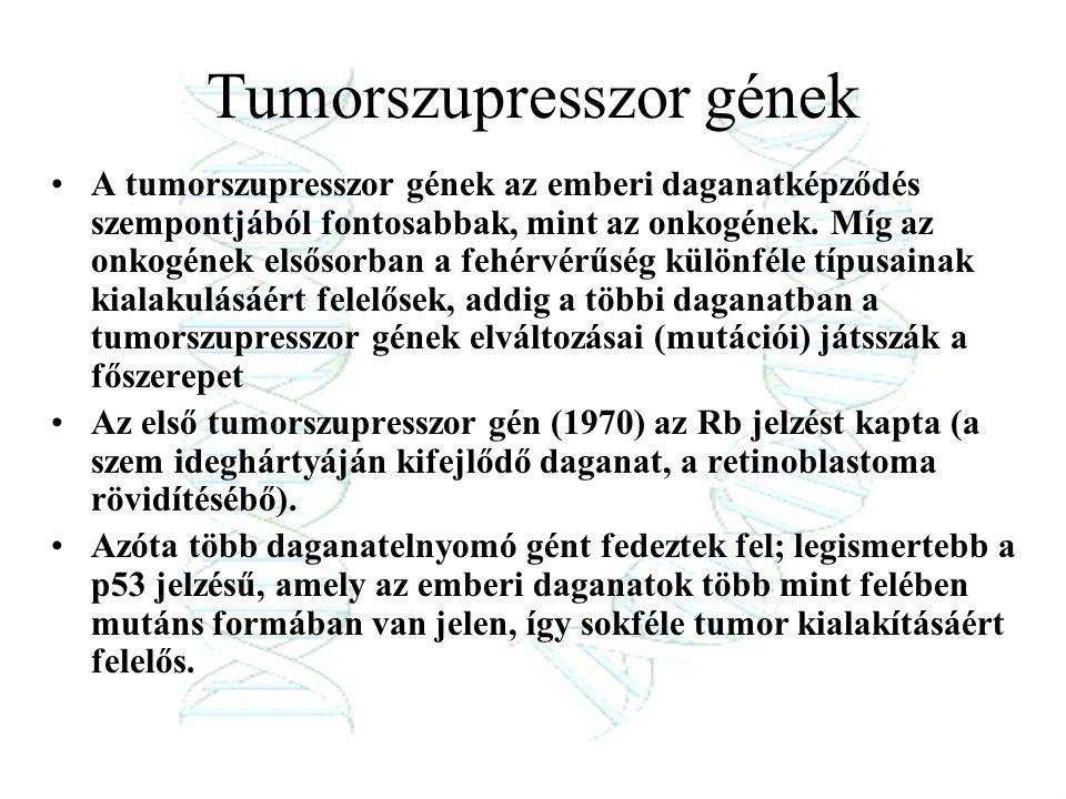 Tumorszupresszor gének A tumorszupresszor gének az emberi daganatképződés szempontjából fontosabbak, mint az onkogének. Míg az onkogének elsősorban a