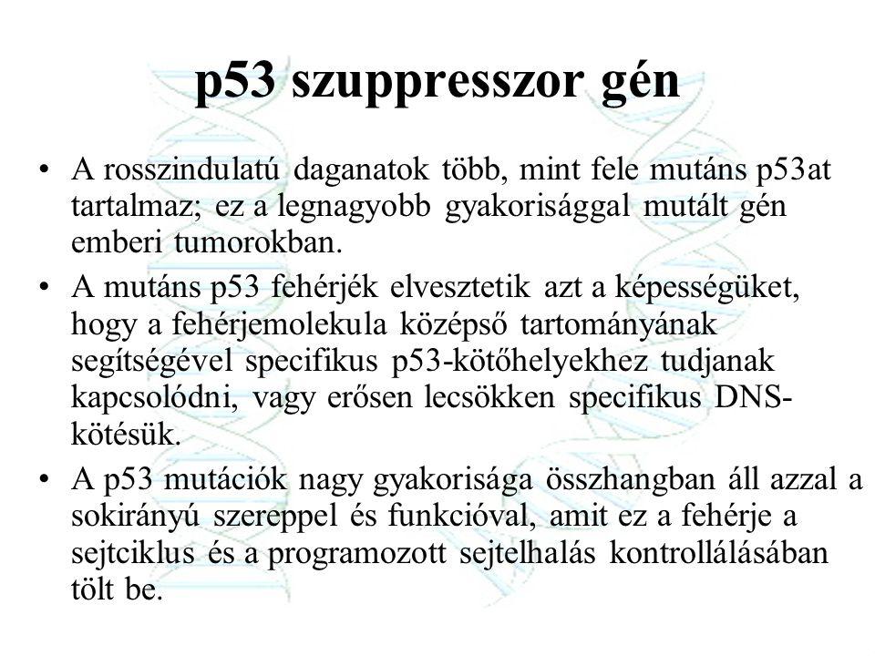 p53 szuppresszor gén A rosszindulatú daganatok több, mint fele mutáns p53at tartalmaz; ez a legnagyobb gyakorisággal mutált gén emberi tumorokban. A m