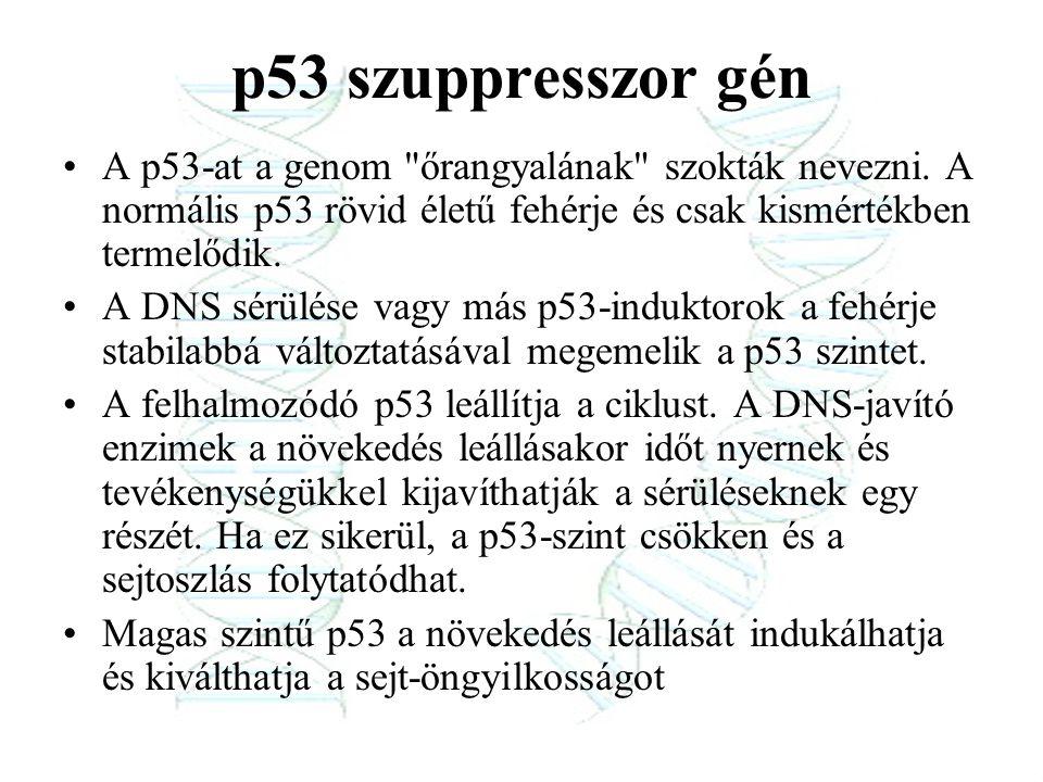 p53 szuppresszor gén A p53-at a genom