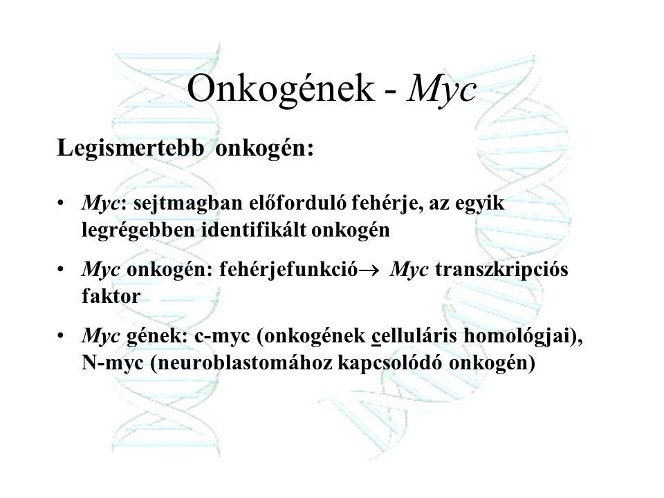 Onkogének - Myc Legismertebb onkogén: Myc: sejtmagban előforduló fehérje, az egyik legrégebben identifikált onkogén Myc onkogén: fehérjefunkció  Myc