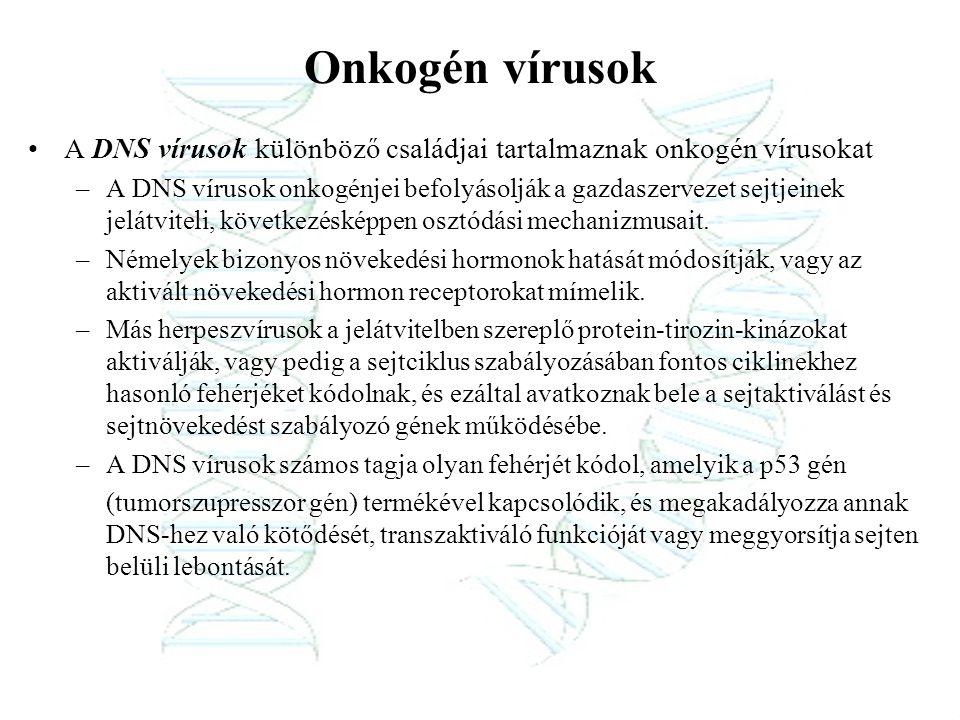 Onkogén vírusok A DNS vírusok különböző családjai tartalmaznak onkogén vírusokat –A DNS vírusok onkogénjei befolyásolják a gazdaszervezet sejtjeinek j