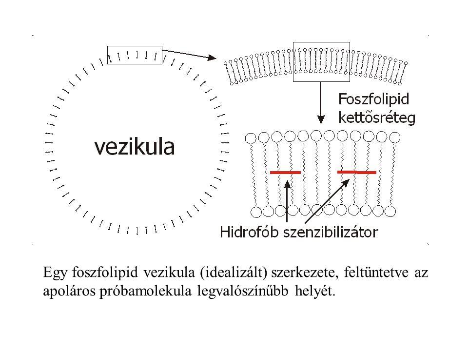 Egy foszfolipid vezikula (idealizált) szerkezete, feltüntetve az apoláros próbamolekula legvalószínűbb helyét.