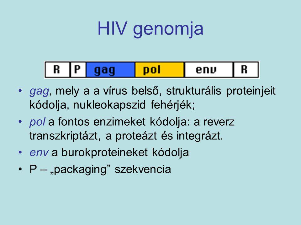HIV genomja gag, mely a a vírus belső, strukturális proteinjeit kódolja, nukleokapszid fehérjék; pol a fontos enzimeket kódolja: a reverz transzkriptá