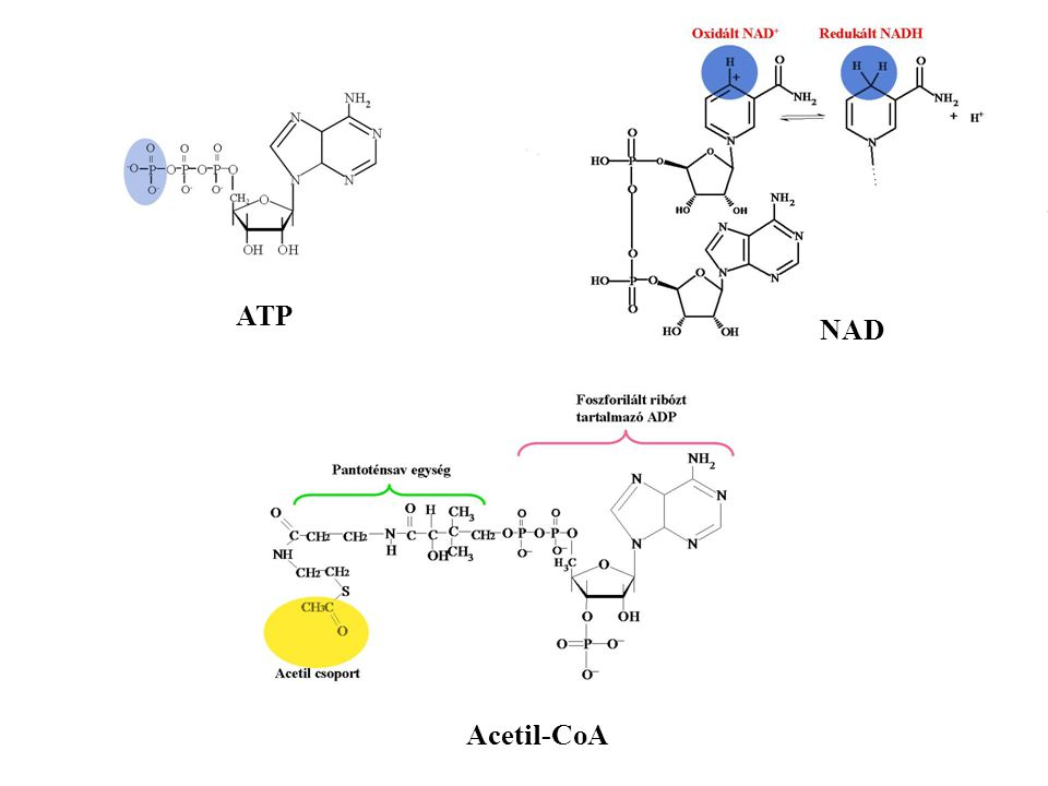NAD Acetil-CoA