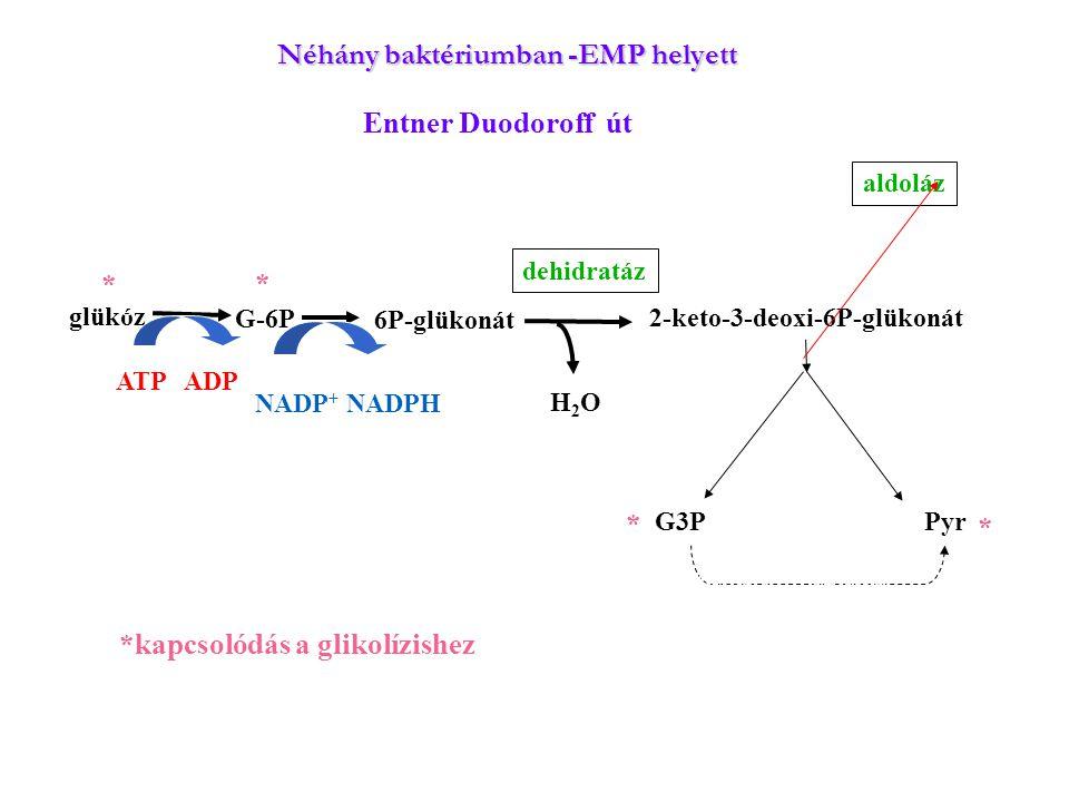 glükóz G-6P 6P-glükonát 2-keto-3-deoxi-6P-glükonát G3P Pyr ATP ADP NADP + NADPH H2OH2O aldoláz dehidratáz *kapcsolódás a glikolízishez * * * * Néhány