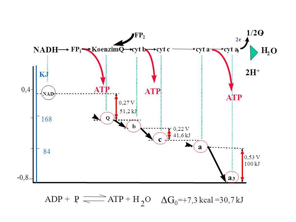 84 168 -0,8 0,4 KJ 0,27 V 51,2 kJ 0,22 V 41,6 kJ 0,53 V 100 kJ NAD Q b c a a 3 NADH FP 1 KoenzimQ cyt b cyt c cyt a 3 ATP FP 2 2e - 1/2O 2 ADP + P i A