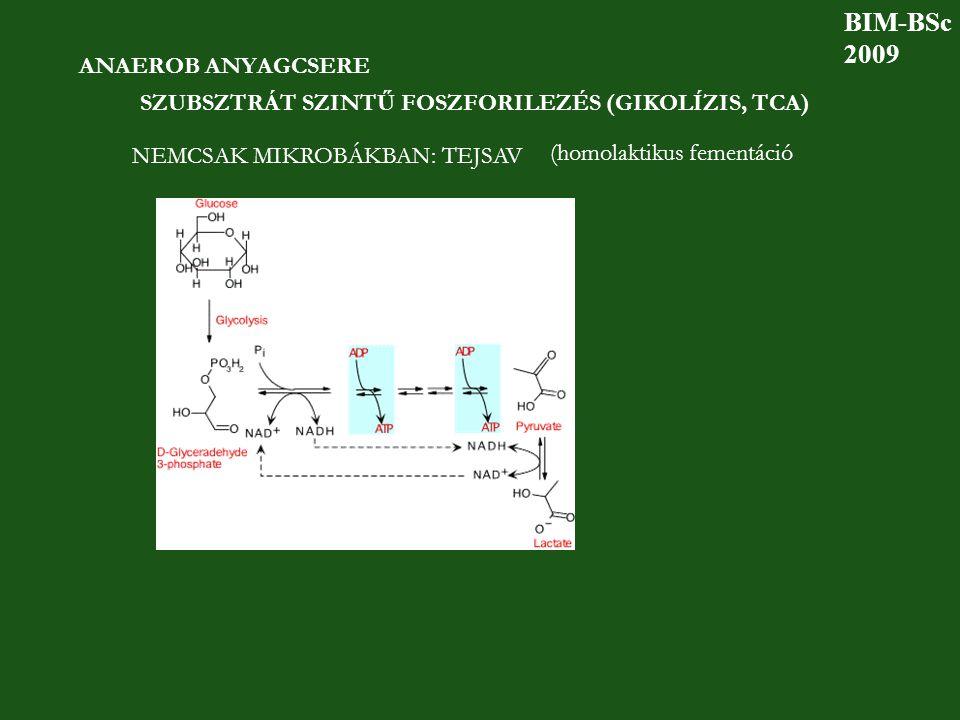 ANAEROB ANYAGCSERE SZUBSZTRÁT SZINTŰ FOSZFORILEZÉS (GIKOLÍZIS, TCA) NEMCSAK MIKROBÁKBAN: TEJSAV (homolaktikus fementáció BIM-BSc 2009