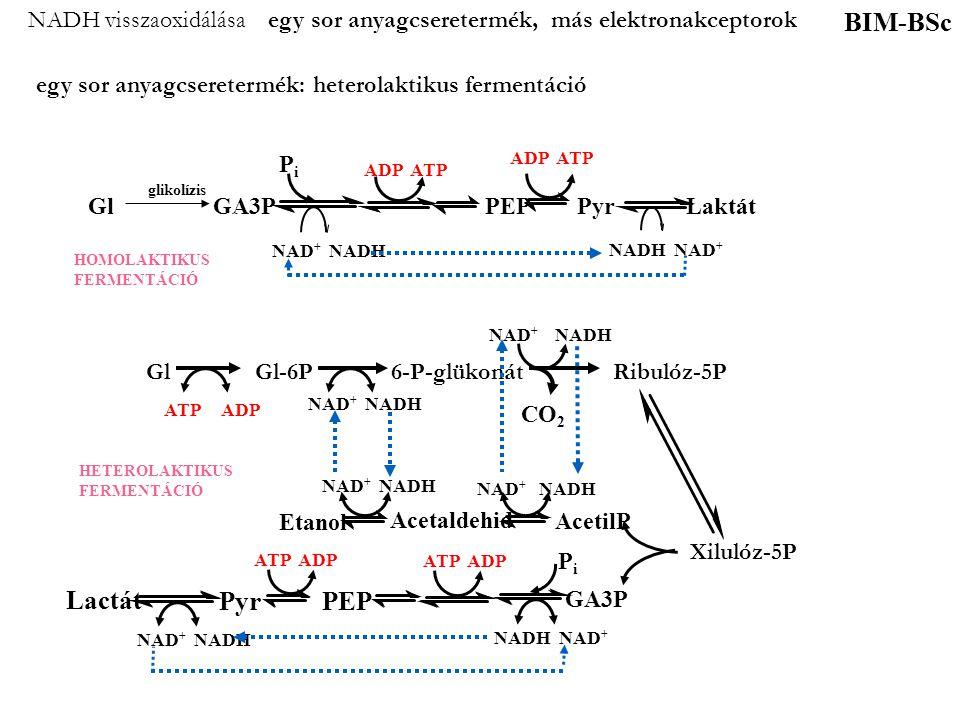 NADH visszaoxidálása egy sor anyagcseretermék, más elektronakceptorok egy sor anyagcseretermék: heterolaktikus fermentáció BIM-BSc