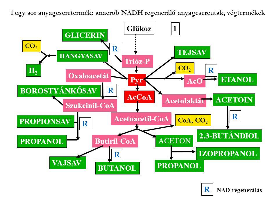Glükóz Trióz-P Pyr AcCoA Acetoacetil-CoA Butiril-CoA BUTANOL VAJSAV ACETON PROPANOL IZOPROPANOL TEJSAV AcO ETANOL CO 2 Acetolaktát ACETOIN 2,3-BUTÁNDI