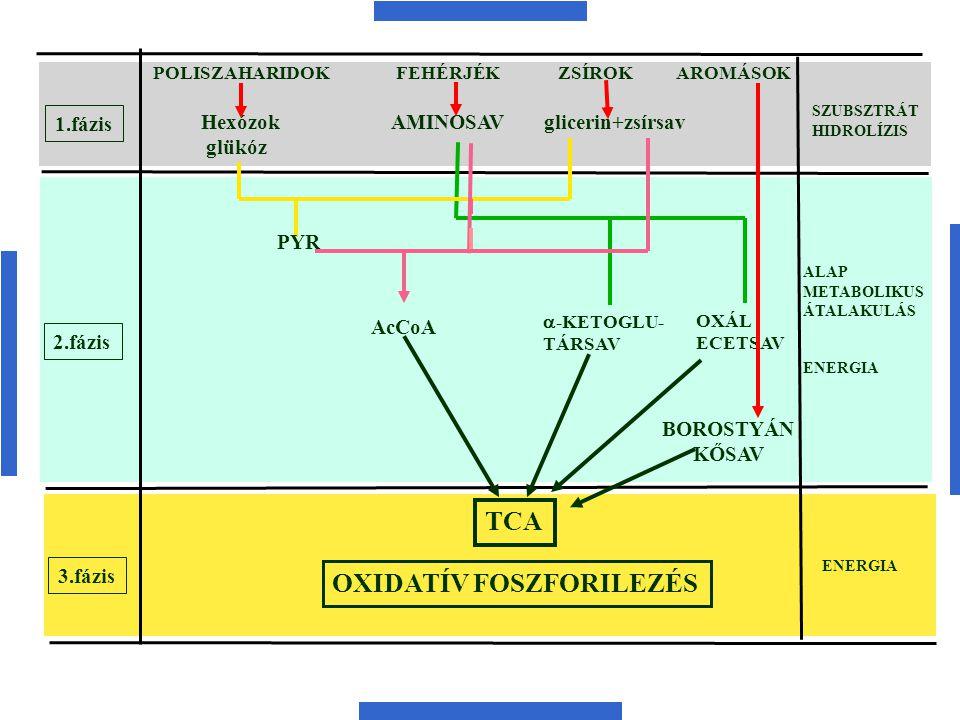 1.fázis 2.fázis 3.fázis POLISZAHARIDOK FEHÉRJÉK ZSÍROK AROMÁSOK SZUBSZTRÁT HIDROLÍZIS ENERGIA ALAP METABOLIKUS ÁTALAKULÁS ENERGIA Hexózok AMINOSAV gli
