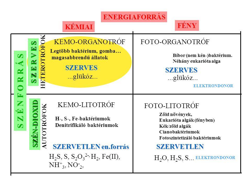 S Z E R V E S SZÉN-DIOXID HETEROTRÓFOK AUTOTRÓFOK ENERGIAFORRÁS KÉMIAI FÉNY KEMO-ORGANOTRÓFFOTO-ORGANOTRÓF KEMO-LITOTRÓF FOTO-LITOTRÓF Legtöbb baktéri