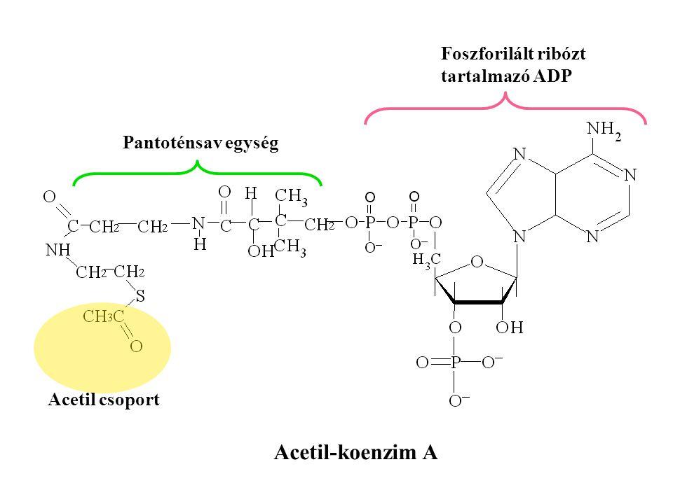 Acetil-koenzim A Foszforilált ribózt tartalmazó ADP Pantoténsav egység Acetil csoport