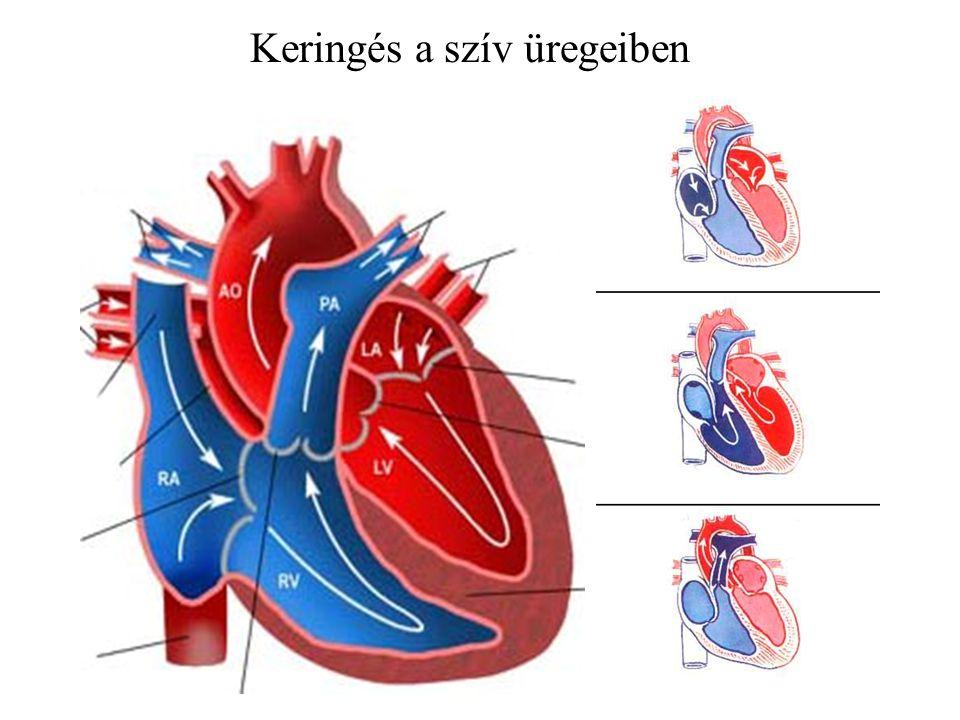 Keringés a szív üregeiben