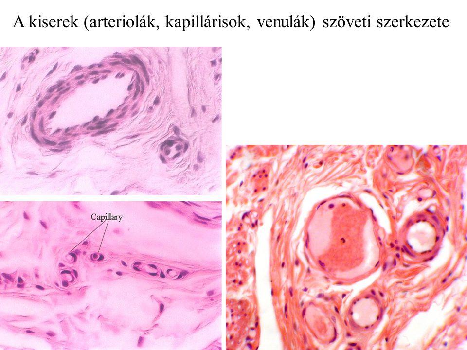 A kiserek (arteriolák, kapillárisok, venulák) szöveti szerkezete