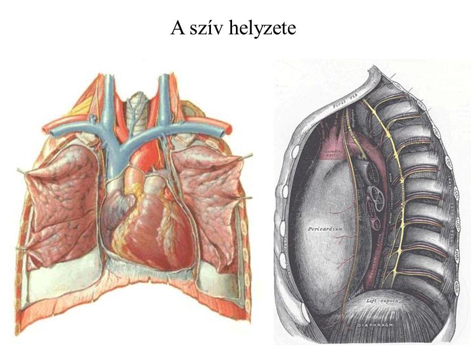 A szív helyzete. Szívburok