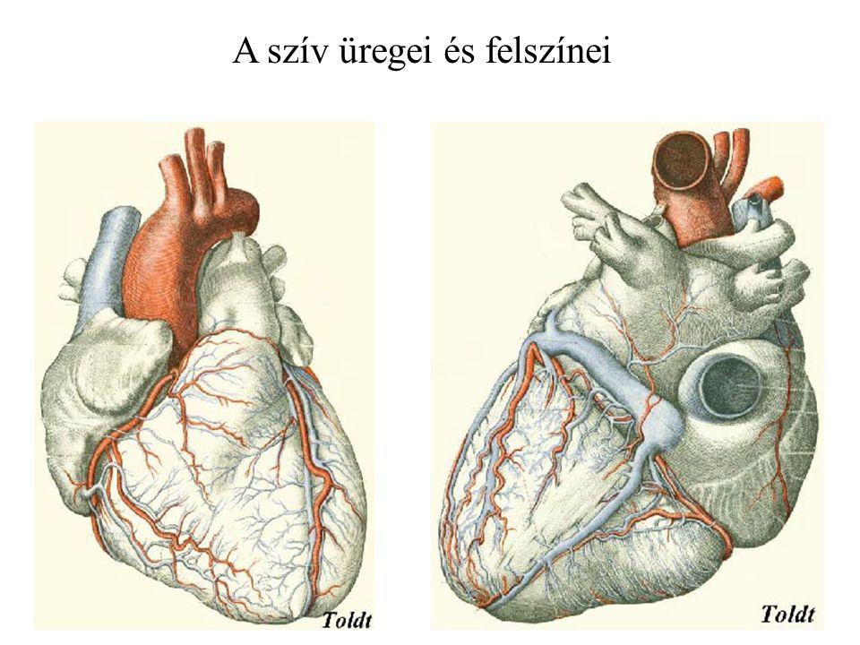 A szív üregei és felszínei