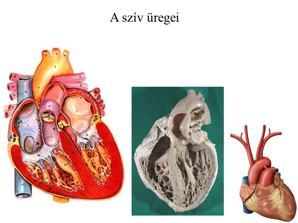 A szív üregei