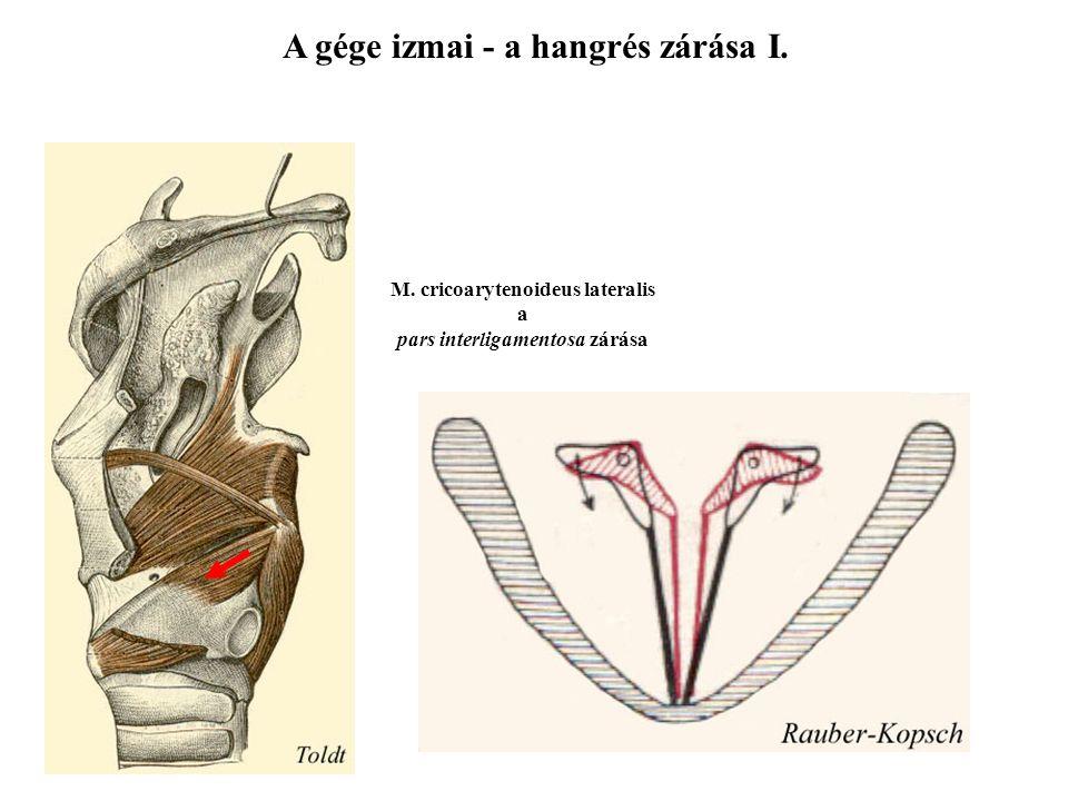 Forgás M. cricoarytenoideus posterior az egyetlen hangrést nyitó izom A gége izmai - a hangrés nyitása