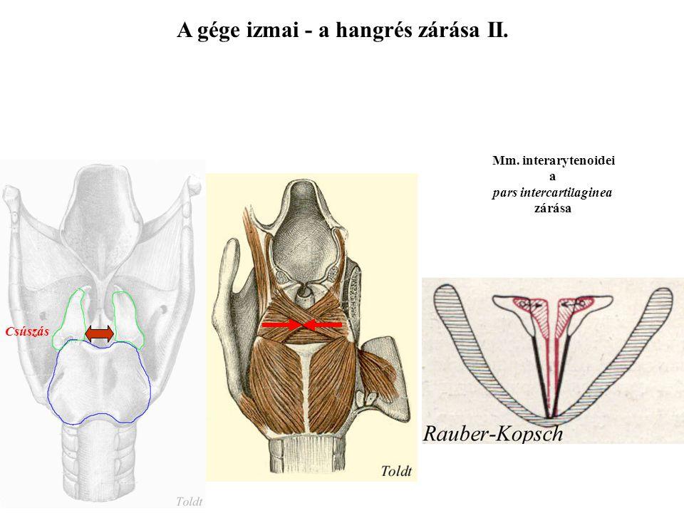 A gége izmai - a hangrés zárása I. M. cricoarytenoideus lateralis a pars interligamentosa zárása