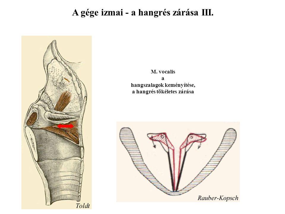 A gége izmai - a hangrés zárása II. Csúszás Mm. interarytenoidei a pars intercartilaginea zárása