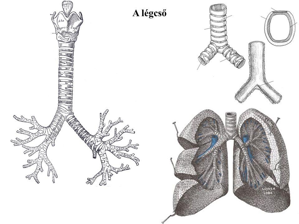 M. thyroarytenoideus M. thyroepiglotticus A gége izmai - a vestibulum laryngis szűkítése