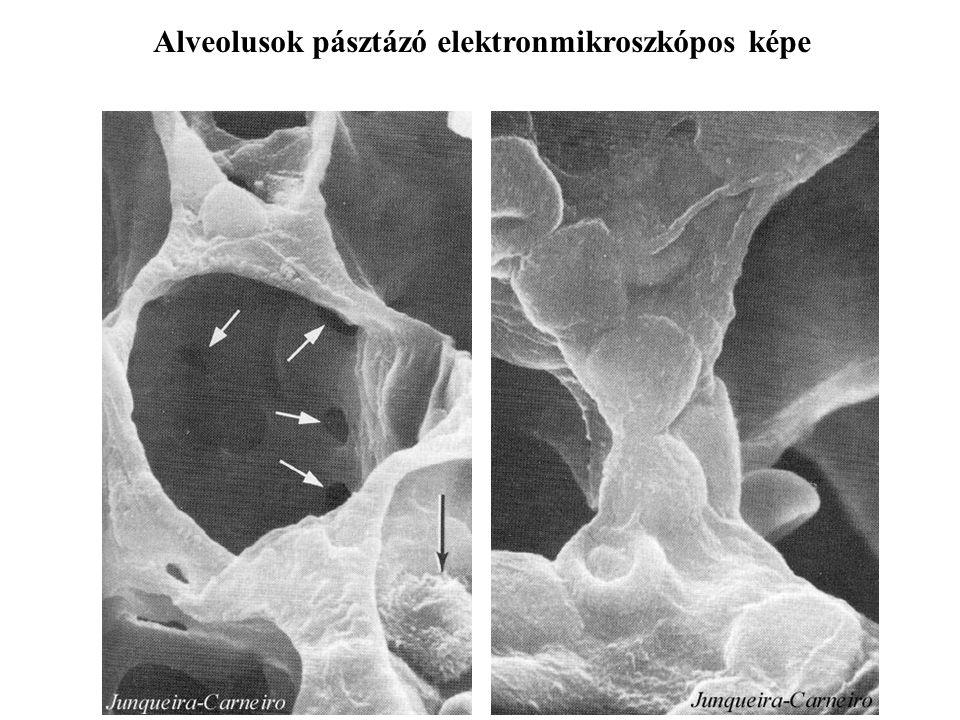 A léghólyagocskák 300 millió egy tüdőben átmérő 250-290 µm tüdőnként 100-140 m 2 Kötőszövetes sövények sejtes elemek elasticus és kollagénrostok kontr