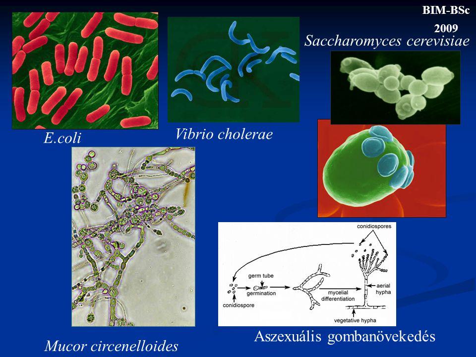 E.coli Vibrio cholerae Saccharomyces cerevisiae Mucor circenelloides Aszexuális gombanövekedés BIM-BSc 2009