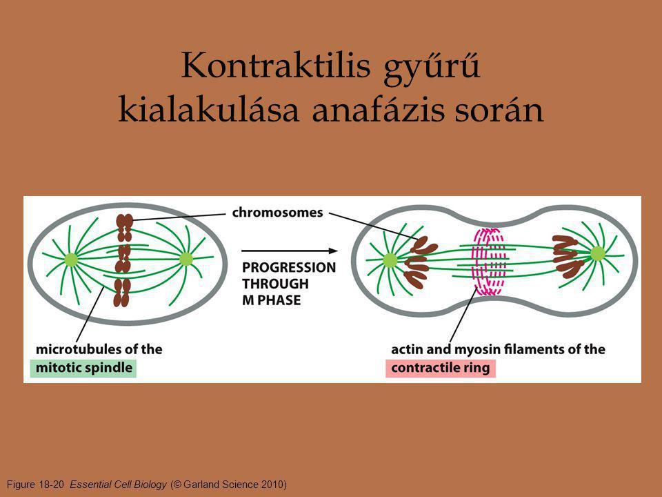 Figure 18-20 Essential Cell Biology (© Garland Science 2010) Kontraktilis gyűrű kialakulása anafázis során