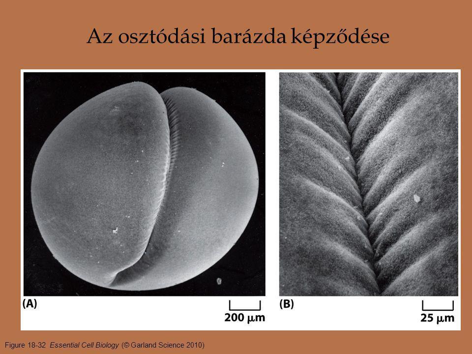 Figure 18-32 Essential Cell Biology (© Garland Science 2010) Az osztódási barázda képződése