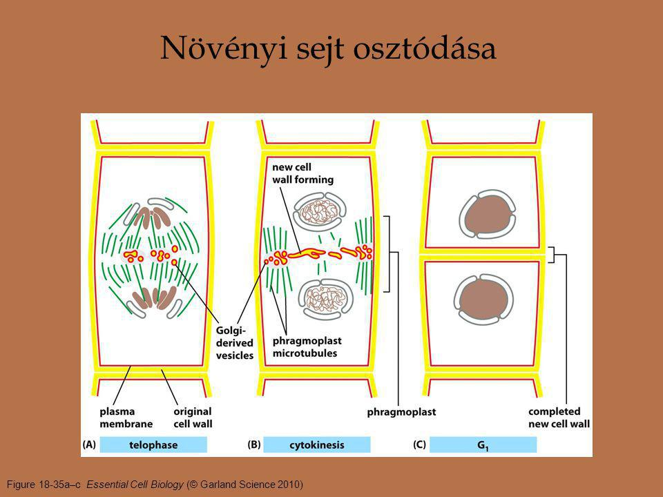 Figure 18-35a–c Essential Cell Biology (© Garland Science 2010) Növényi sejt osztódása