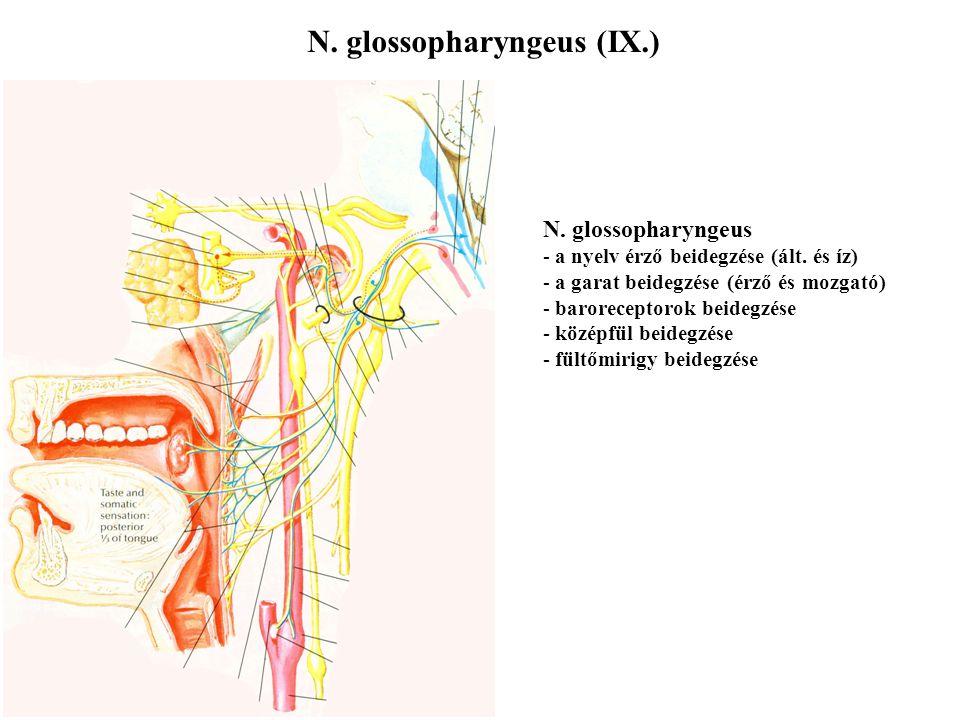 N. vestibulocochlearis (VIII.) N. vestibulocochlearis - belső fülhöz fut A) egyensúlyozás érzékszervéhez B) hallás érzékszervéhez - nem hagyja el a ko