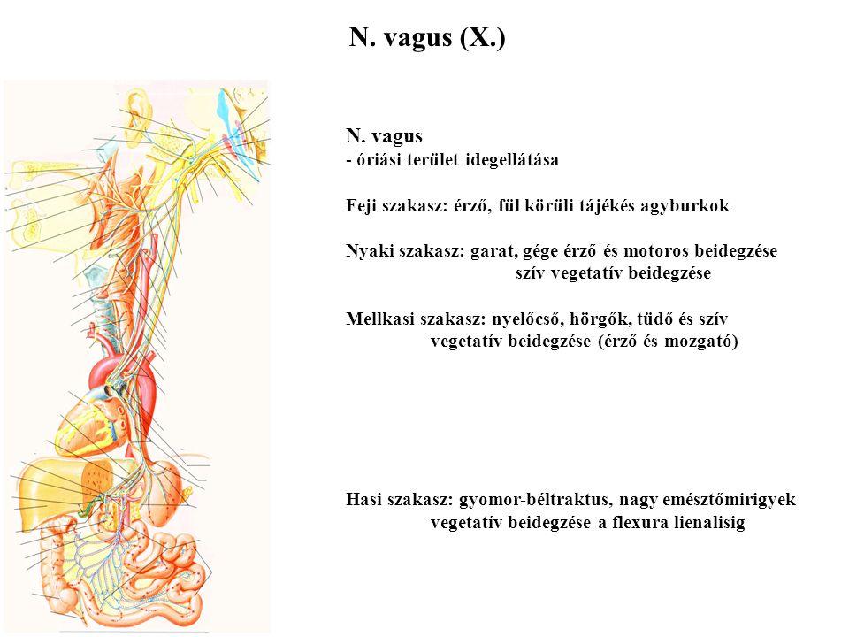N. glossopharyngeus (IX.) N. glossopharyngeus - a nyelv érző beidegzése (ált. és íz) - a garat beidegzése (érző és mozgató) - baroreceptorok beidegzés