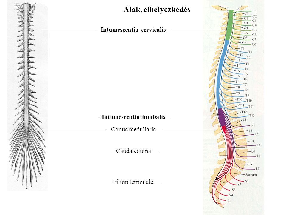 A gerincvelői idegek Szelvényezetten lépnek elő a gerincvelőből