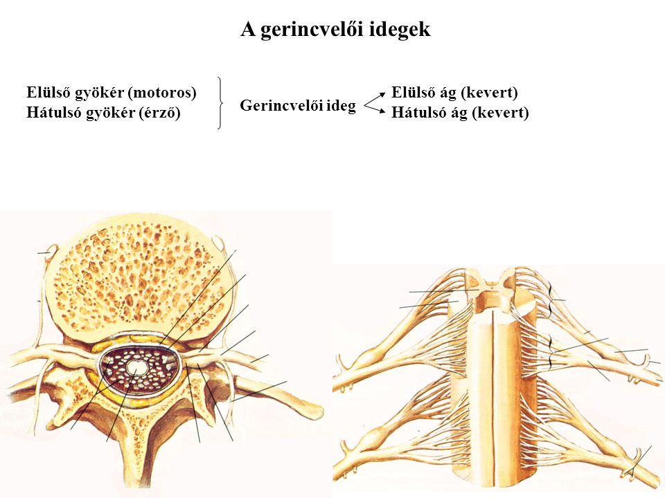 Intumescentia cervicalis Intumescentia lumbalis Conus medullaris Cauda equina Alak, elhelyezkedés Filum terminale