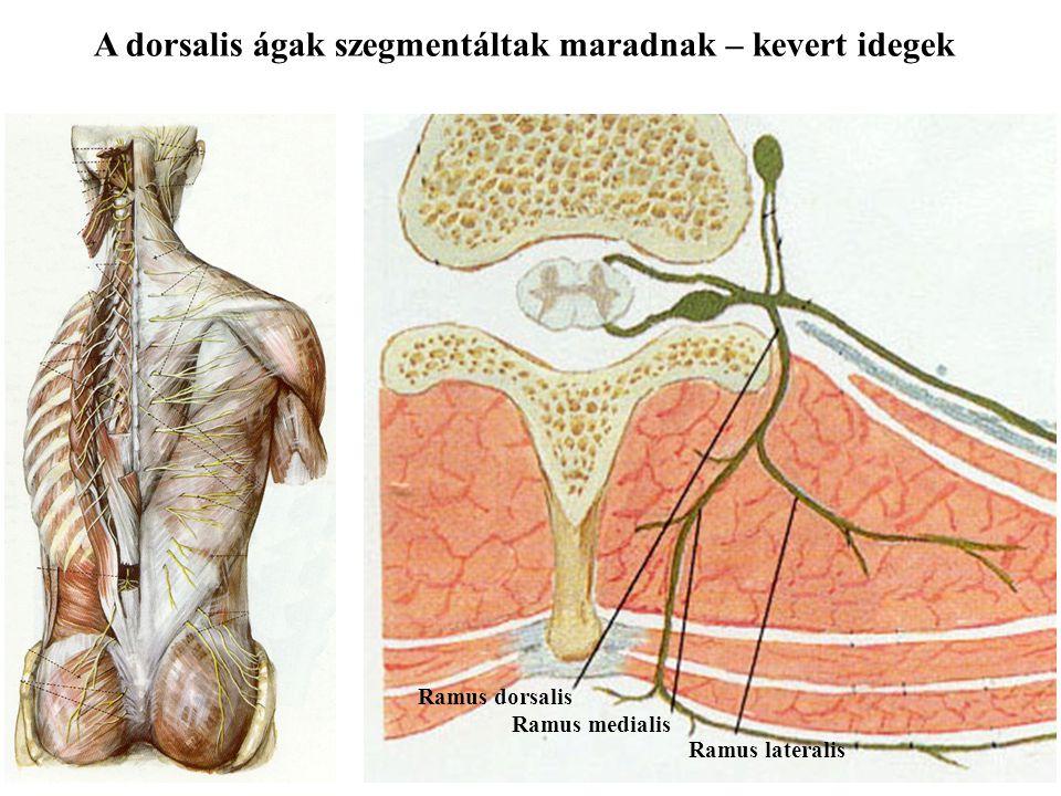 A gerincvelői idegek Elülső gyökér (motoros) Hátulsó gyökér (érző) Gerincvelői ideg Elülső ág (kevert) Hátulsó ág (kevert)