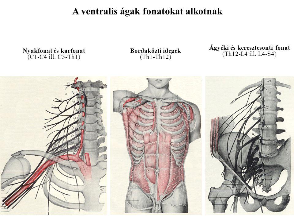 A dorsalis ágak szegmentáltak maradnak – kevert idegek Ramus dorsalis Ramus medialis Ramus lateralis