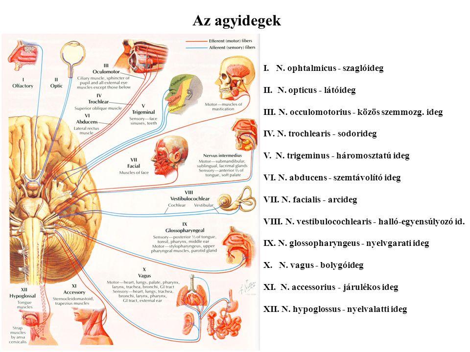 Perifériás idegrendszer, vegetatív idegrendszer Dr. Alpár Alán