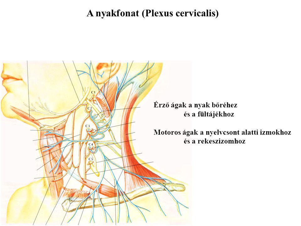 A ventralis ágak fonatokat alkotnak Nyakfonat és karfonat (C1-C4 ill. C5-Th1) Ágyéki és keresztcsonti fonat (Th12-L4 ill. L4-S4) Bordaközti idegek (Th